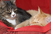 Our Feline Friends : Our three cats, Bugsy (female, light brown/white) who we got on 5/2/2010, Miles (boy cat with grey/brown tiger markings) and Simba (red tabby) who we got on February 10, 2007.
